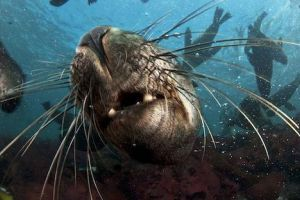 Snorkeling with Seals, Cape Town