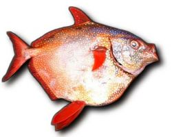 Scientists discover world's first warm blooded fish