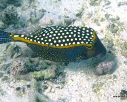 Boxfish - Cute But Deadly